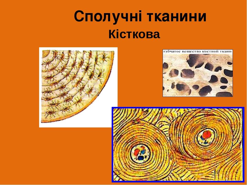 Кісткова Сполучні тканини