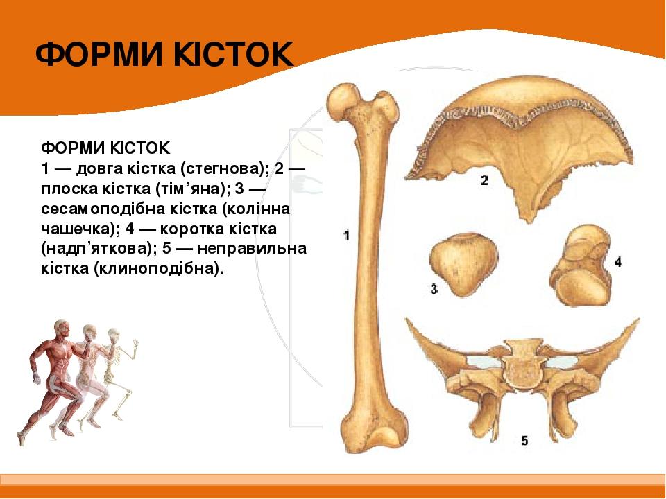 ФОРМИ КІСТОК 1 — довга кістка (стегнова); 2 — плоска кістка (тім'яна); 3 — сесамоподібна кістка (колінна чашечка); 4 — коротка кістка (надп'яткова)...