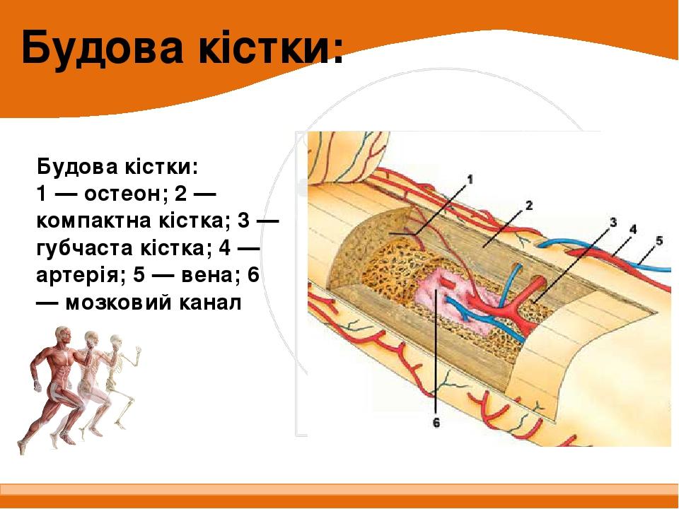 Будова кістки: 1 — остеон; 2 — компактна кістка; 3 — губчаста кістка; 4 — артерія; 5 — вена; 6 — мозковий канал Будова кістки: