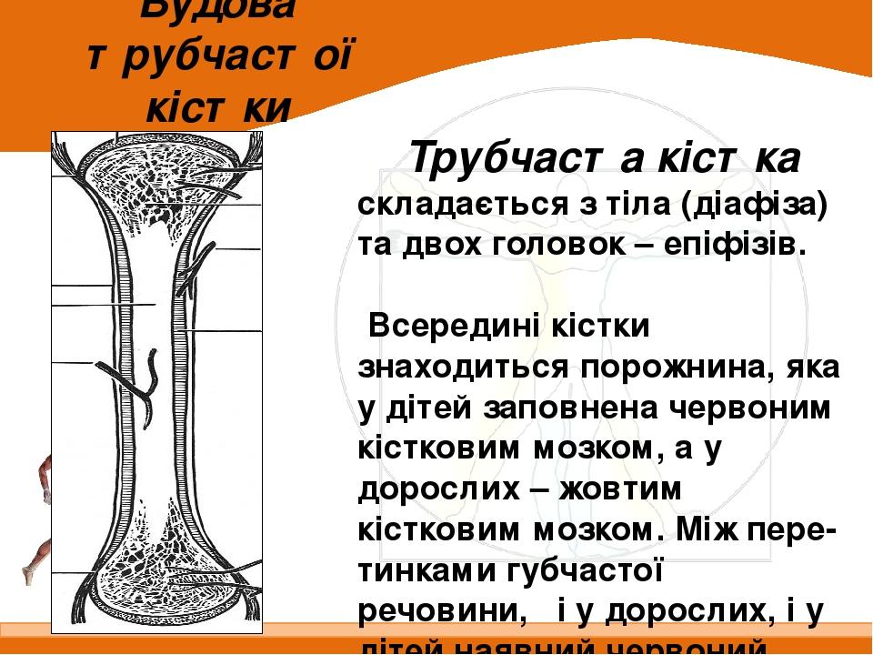 Будова трубчастої кістки Трубчаста кістка складається з тіла (діафіза) та двох головок – епіфізів. Всередині кістки знаходиться порожнина, яка у ді...