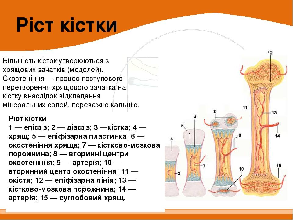 Більшість кісток утворюються з хрящових зачатків (моделей). Cкостеніння — процес поступового перетворення хрящового зачатка на кістку внаслідок від...