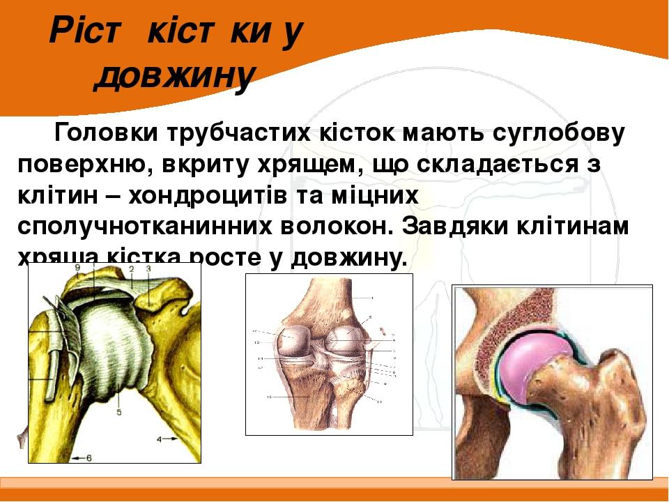 Ріст кістки у довжину Головки трубчастих кісток мають суглобову поверхню, вкриту хрящем, що складається з клітин – хондроцитів та міцних сполучнотк...