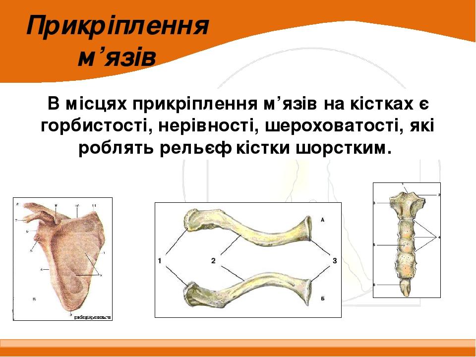 В місцях прикріплення м'язів на кістках є горбистості, нерівності, шероховатості, які роблять рельєф кістки шорстким. Прикріплення м'язів