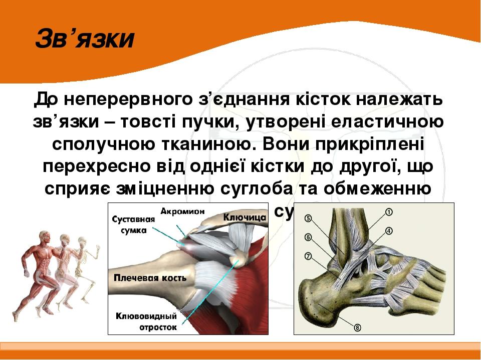 До неперервного з'єднання кісток належать зв'язки – товсті пучки, утворені еластичною сполучною тканиною. Вони прикріплені перехресно від однієї кі...