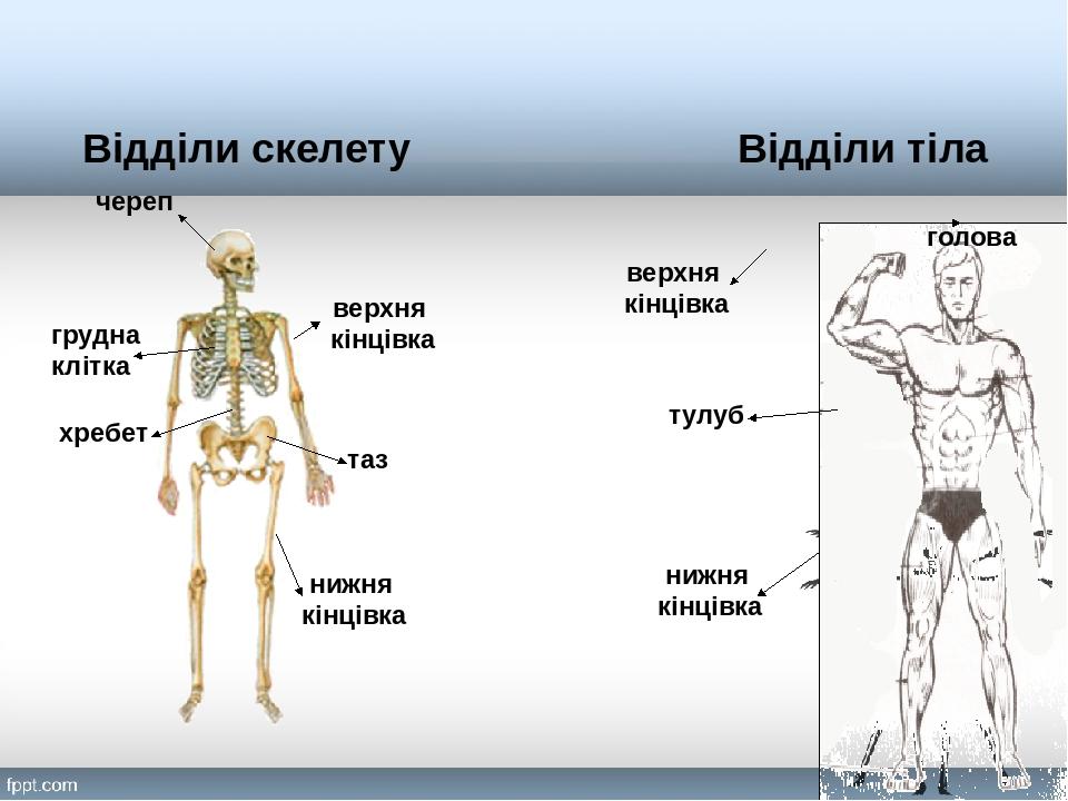 Відділи тіла Відділи скелету череп хребет таз грудна клітка нижня кінцівка верхня кінцівка тулуб голова нижня кінцівка верхня кінцівка