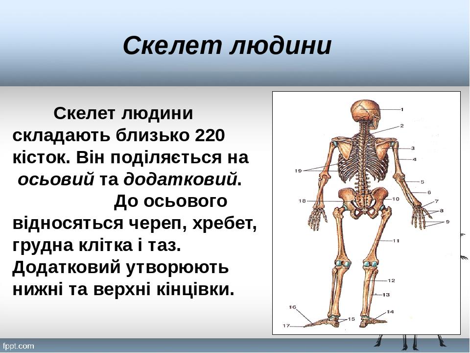 Скелет людини Скелет людини складають близько 220 кісток. Він поділяється на осьовий та додатковий. До осьового відносяться череп, хребет, грудна к...