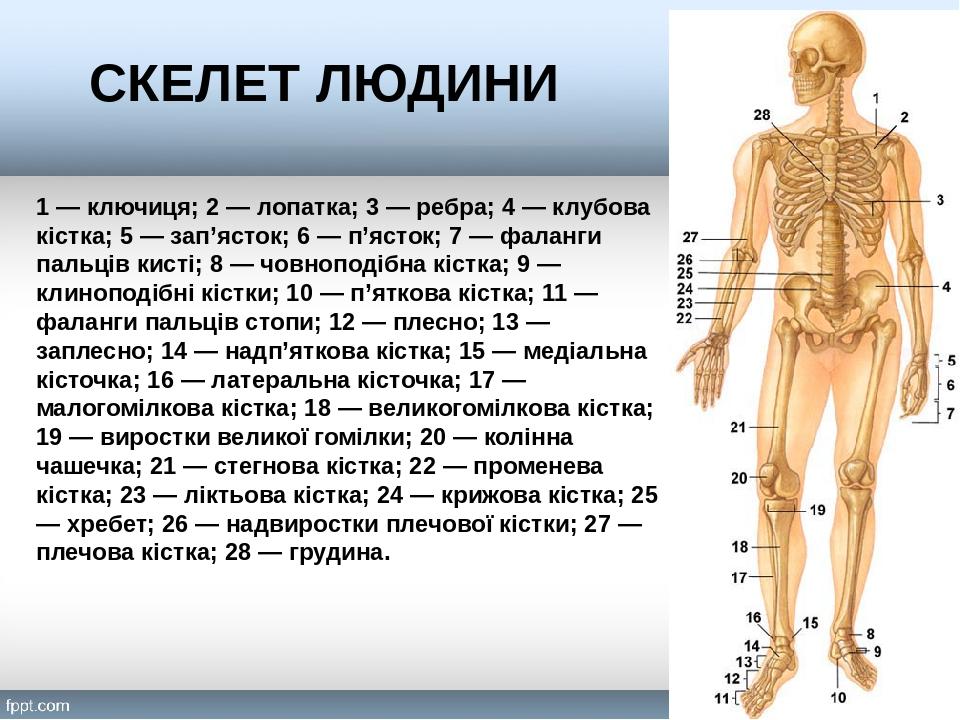1 — ключиця; 2 — лопатка; 3 — ребра; 4 — клубова кістка; 5 — зап'ясток; 6 — п'ясток; 7 — фаланги пальців кисті; 8 — човноподібна кістка; 9 — клиноп...