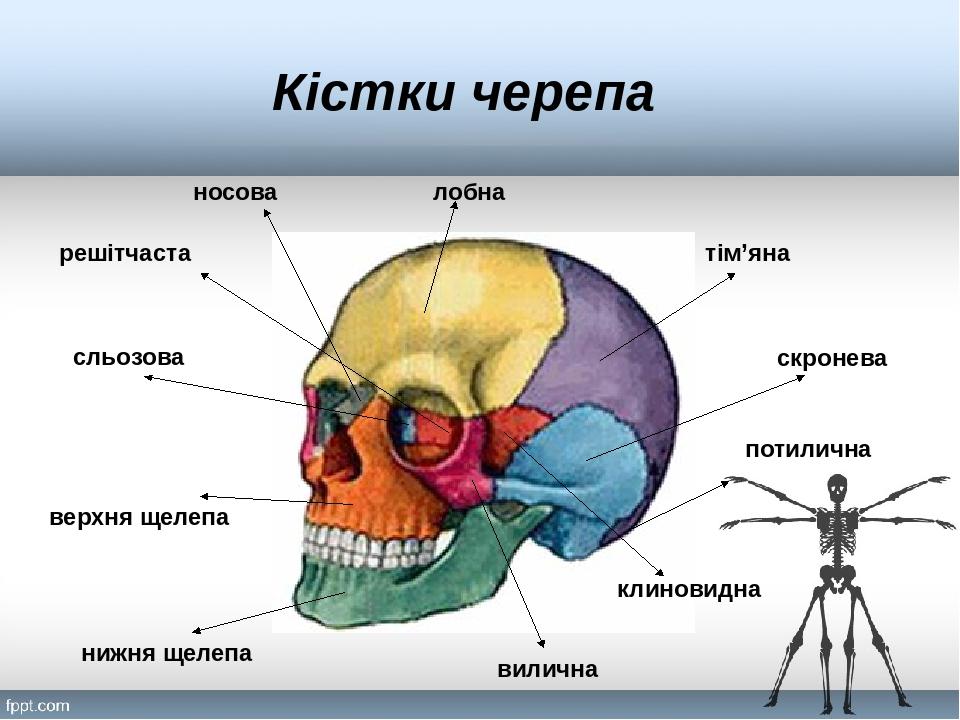 потилична тім'яна скронева вилична клиновидна лобна носова решітчаста сльозова верхня щелепа нижня щелепа Кістки черепа