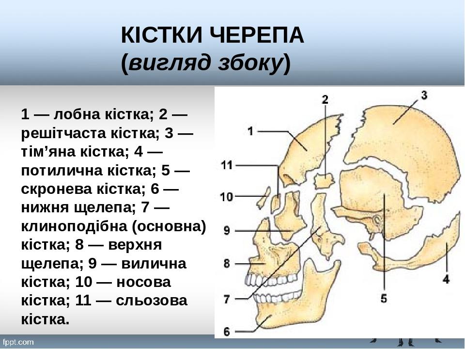 1 — лобна кістка; 2 — решітчаста кістка; 3 — тім'яна кістка; 4 — потилична кістка; 5 — скронева кістка; 6 — нижня щелепа; 7 — клиноподібна (основна...
