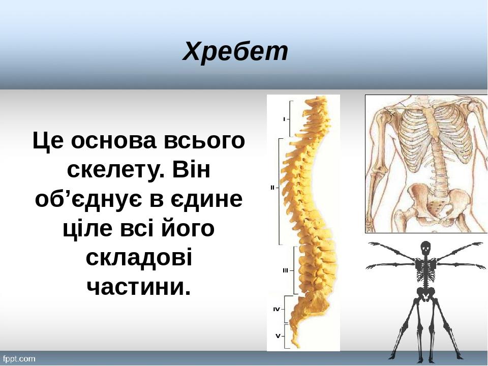 Хребет Це основа всього скелету. Він об'єднує в єдине ціле всі його складові частини.