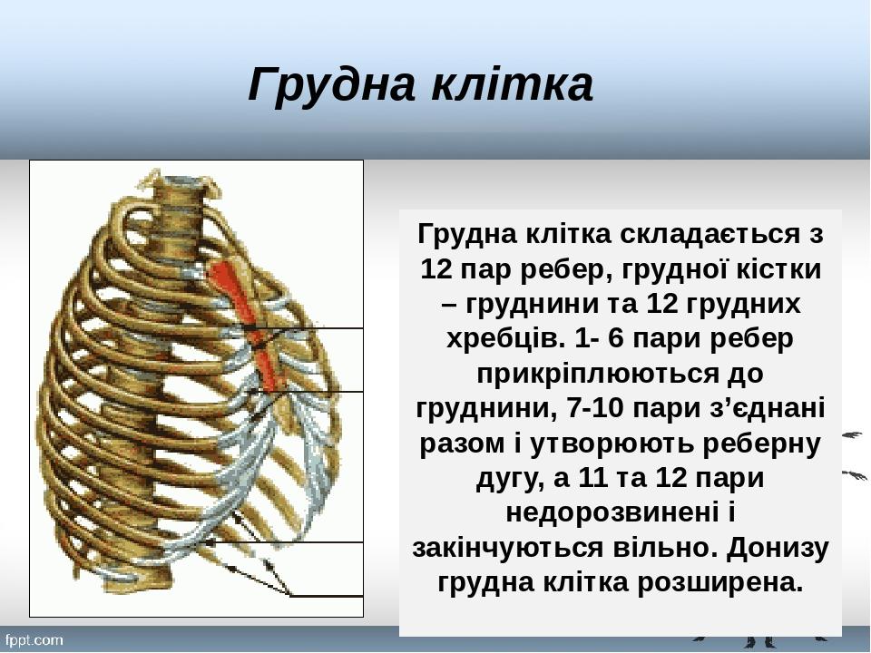 Грудна клітка Грудна клітка складається з 12 пар ребер, грудної кістки – груднини та 12 грудних хребців. 1- 6 пари ребер прикріплюються до груднини...