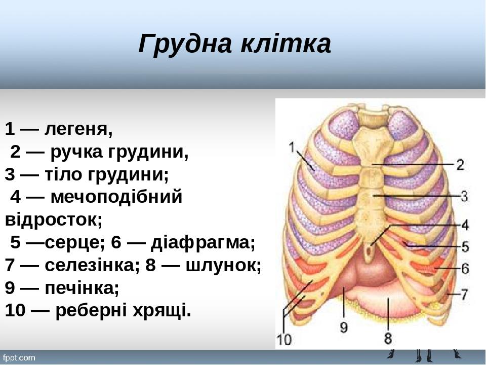 Грудна клітка 1— легеня, 2 — ручка грудини, 3 — тіло грудини; 4 — мечоподібний відросток; 5 —серце; 6 — діафрагма; 7 — селезінка; 8 — шлунок; 9 — ...