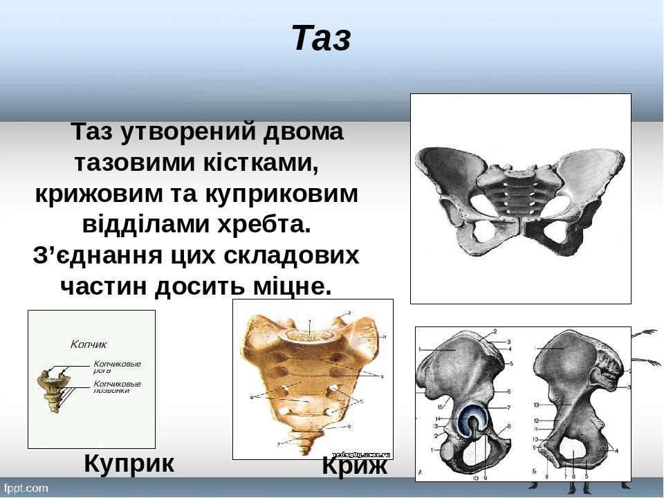 Таз Таз утворений двома тазовими кістками, крижовим та куприковим відділами хребта. З'єднання цих складових частин досить міцне. Криж Куприк