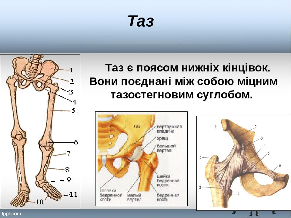 Таз Таз є поясом нижніх кінцівок. Вони поєднані між собою міцним тазостегновим суглобом.