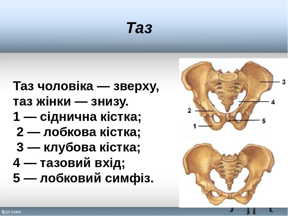 Таз Таз чоловіка — зверху, таз жінки — знизу. 1 — сіднична кістка; 2 — лобкова кістка; 3 — клубова кістка; 4 — тазовий вхід; 5 — лобковий симфіз.