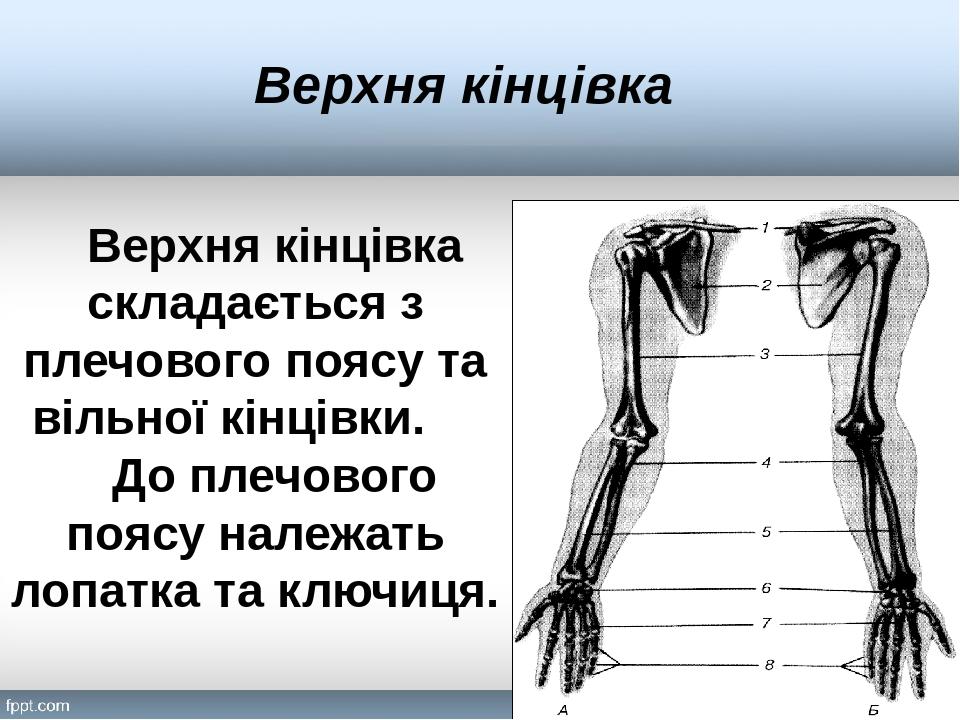 Верхня кінцівка Верхня кінцівка складається з плечового поясу та вільної кінцівки. До плечового поясу належать лопатка та ключиця.