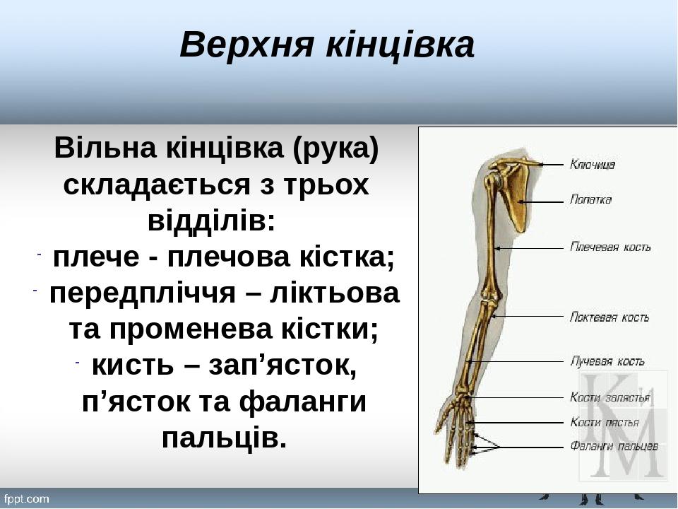 Верхня кінцівка Вільна кінцівка (рука) складається з трьох відділів: плече - плечова кістка; передпліччя – ліктьова та променева кістки; кисть – за...