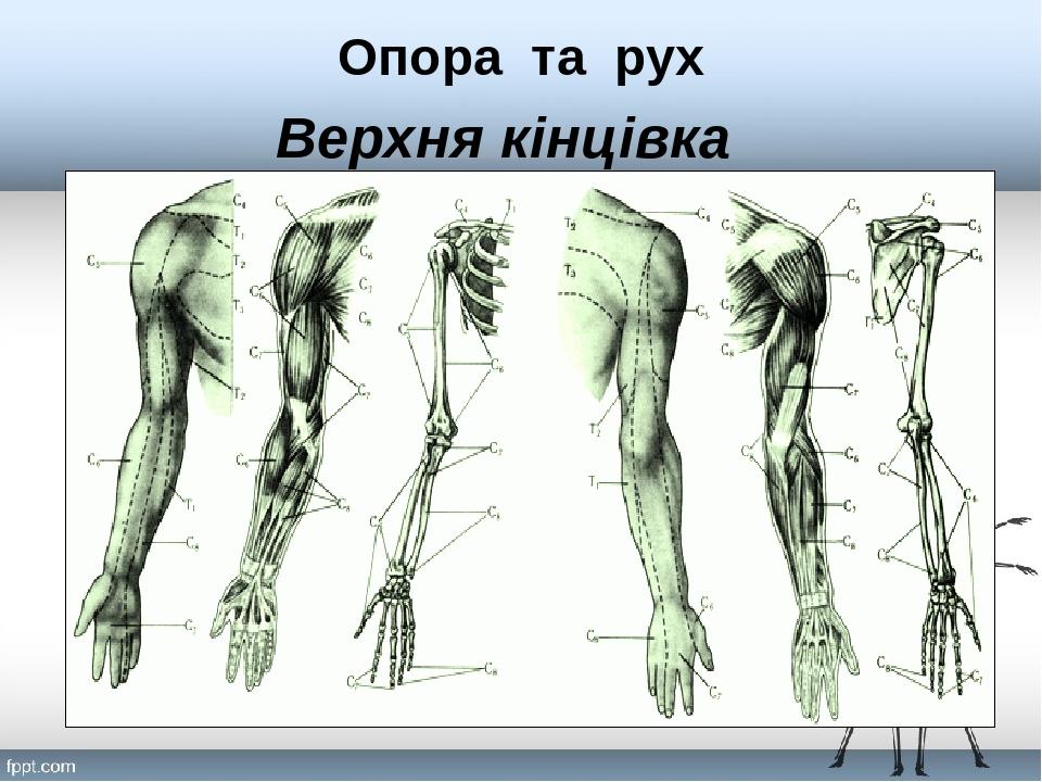 Верхня кінцівка Опора та рух