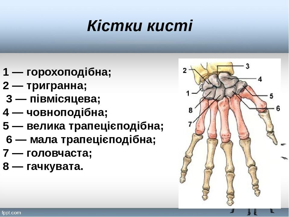 Кістки кисті 1 — горохоподібна; 2 — тригранна; 3 — півмісяцева; 4 — човноподібна; 5 — велика трапецієподібна; 6 — мала трапецієподібна; 7 — головча...