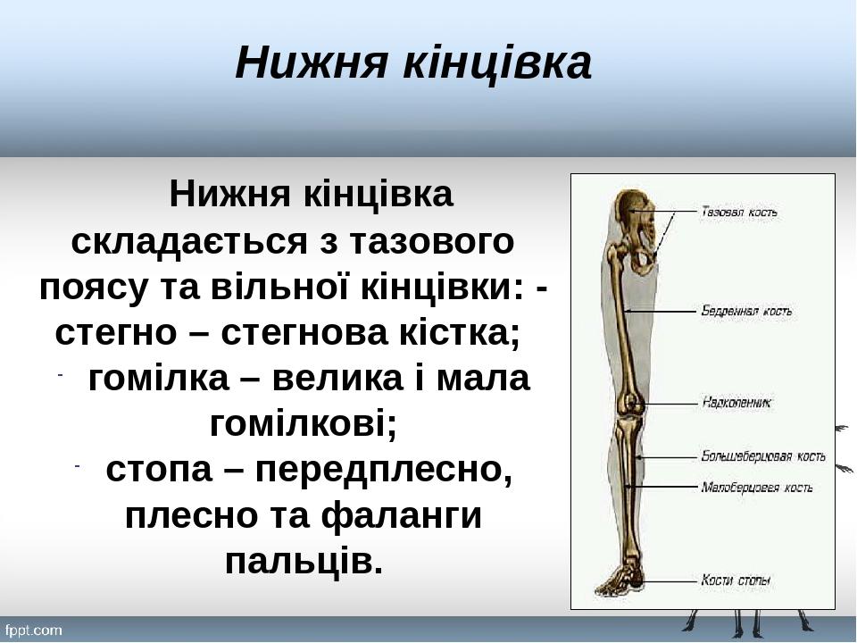 Нижня кінцівка Нижня кінцівка складається з тазового поясу та вільної кінцівки: - стегно – стегнова кістка; гомілка – велика і мала гомілкові; стоп...