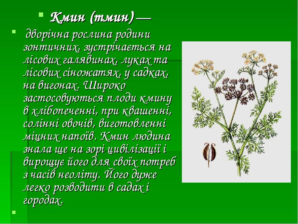 Кмин (тмин)— дворічна рослина родини зонтичних, зустрічається на лісових галявинах, луках та лісових сіножатях, у садках, на вигонах. Широко засто...