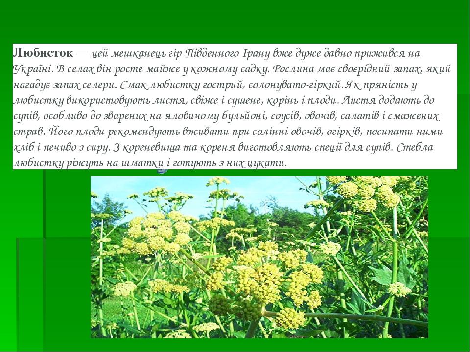 Любисток— цей мешканець гір Південного Ірану вже дуже давно прижився на Україні. В селах він росте майже у кожному садку. Рослина має своєрідний з...