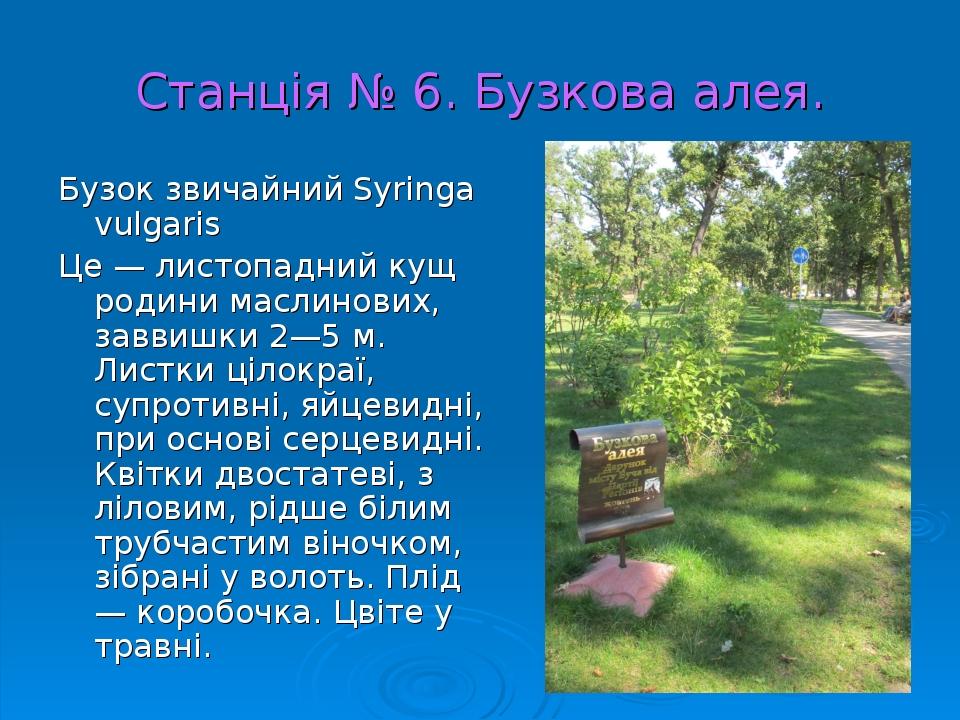 Станція № 6. Бузкова алея. Бузок звичайний Syringa vulgaris Це — листопадний кущ родини маслинових, заввишки 2—5 м. Листки цілокраї, супротивні, яй...