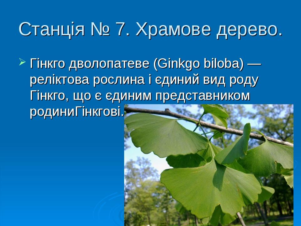 Станція № 7. Храмове дерево. Гінкго дволопатеве (Ginkgo biloba) — реліктова рослина і єдиний вид роду Гінкго, що є єдиним представником родиниГінкг...