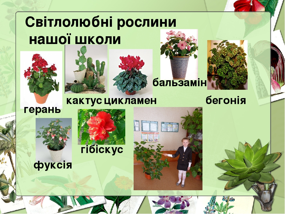 Світлолюбні рослини нашої школи герань бальзамін кактус цикламен бегонія фуксія гібіскус
