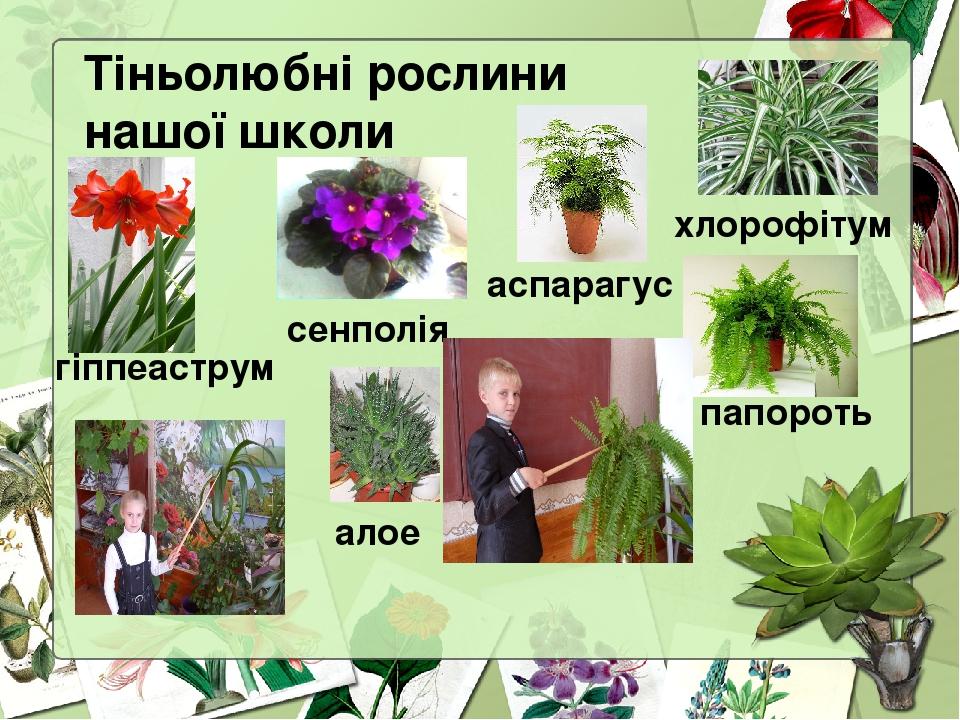Тіньолюбні рослини нашої школи гіппеаструм сенполія аспарагус хлорофітум папороть алое