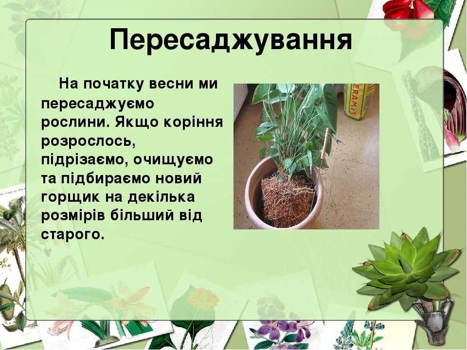 Пересаджування На початку весни ми пересаджуємо рослини. Якщо коріння розрослось, підрізаємо, очищуємо та підбираємо новий горщик на декілька розмі...