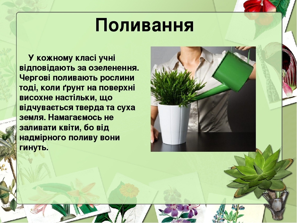 Поливання У кожному класі учні відповідають за озеленення. Чергові поливають рослини тоді, коли ґрунт на поверхні висохне настільки, що відчуваєтьс...