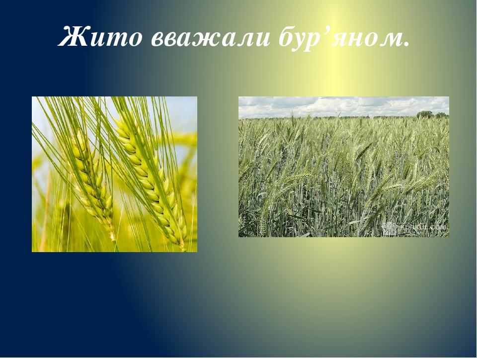 Жито вважали бур'яном.