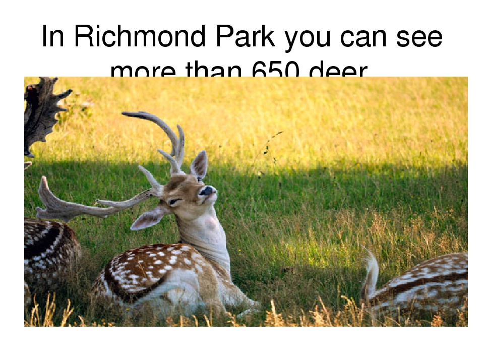 In Richmond Park you can see more than 650 deer.