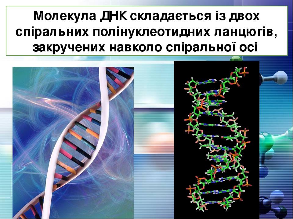 Молекула ДНК складається із двох спіральних полінуклеотидних ланцюгів, закручених навколо спіральної осі