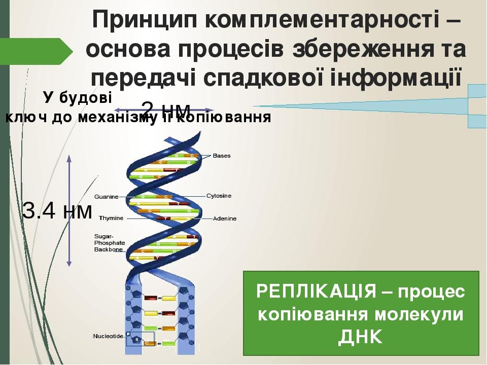 Принцип комплементарності – основа процесів збереження та передачі спадкової інформації У будові ДНК криється ключ до механізму її копіювання РЕПЛІ...