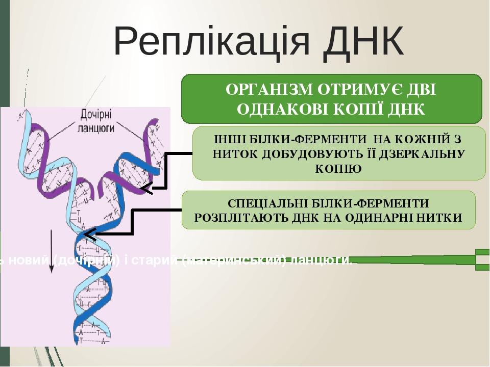 Реплікація ДНК СПЕЦІАЛЬНІ БІЛКИ-ФЕРМЕНТИ РОЗПЛІТАЮТЬ ДНК НА ОДИНАРНІ НИТКИ ІНШІ БІЛКИ-ФЕРМЕНТИ НА КОЖНІЙ З НИТОК ДОБУДОВУЮТЬ ЇЇ ДЗЕРКАЛЬНУ КОПІЮ ОР...