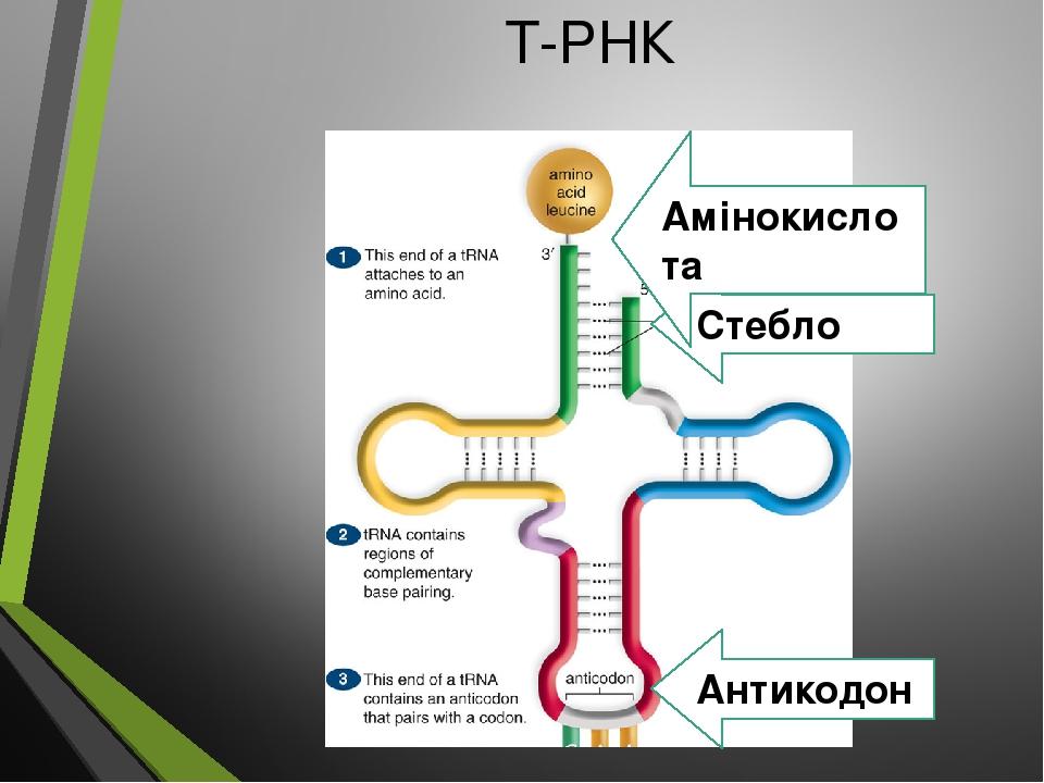 Т-РНК Стебло Амінокислота Антикодон