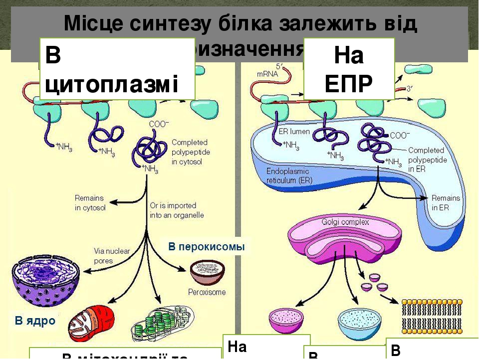 Місце синтезу білка залежить від призначення В цитоплазмі На ЕПР В мітохондрії та пластиди На експорт В лізосоми В мембрани