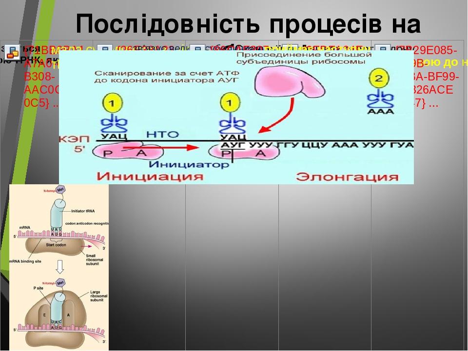Послідовність процесів на рибосомі