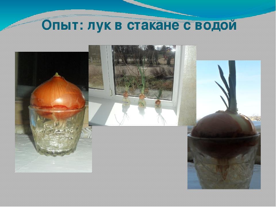 Опыт: лук в стакане с водой