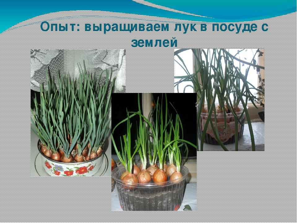 Опыт: выращиваем лук в посуде с землей