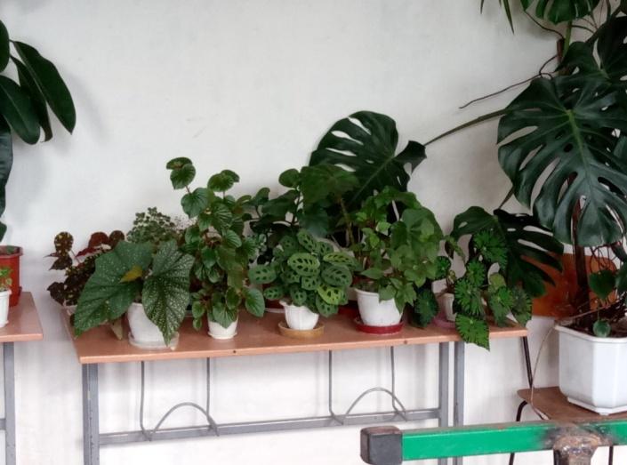 Кімнатні рослини. Вплив медичних препаратів (нашатирний спирт ... 5a1d6fc22a95d