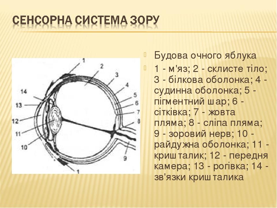 Будова очного яблука 1 - м'яз; 2 - склисте тіло; 3 - білкова оболонка; 4 - судинна оболонка; 5 - пігментний шар; 6 - сітківка; 7 - жовта пляма; 8 -...