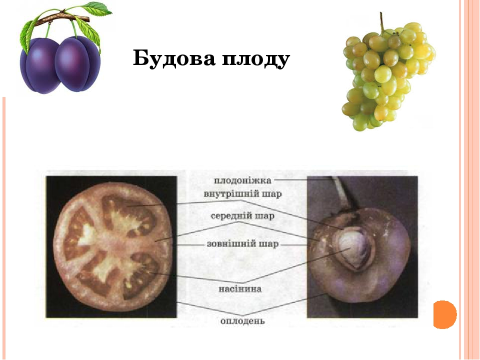 Будова плоду