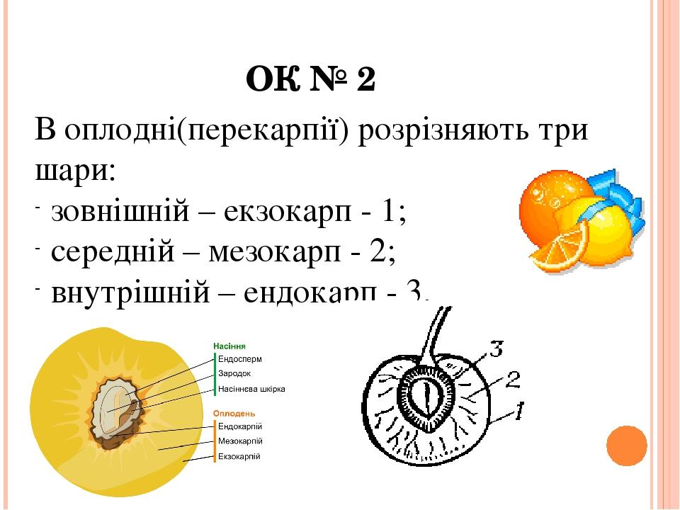 В оплодні(перекарпії) розрізняють три шари: зовнішній – екзокарп - 1; середній – мезокарп - 2; внутрішній – ендокарп - 3. ОК № 2