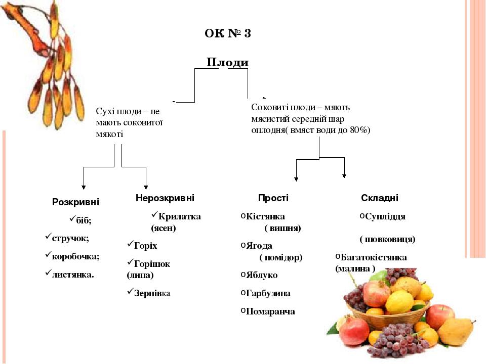 ОК № 3 Плоди Сухі плоди – не мають соковитої мякоті Соковиті плоди – мяють мясистий середній шар оплодня( вмяст води до 80%) Розкривні біб; стручок...