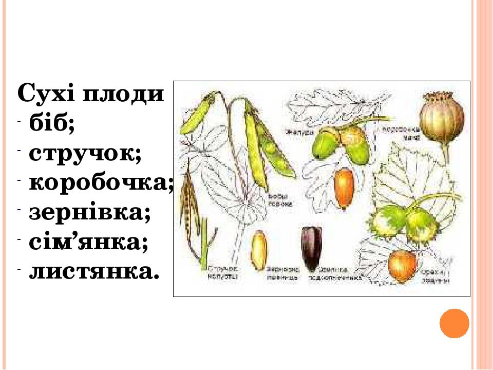 Сухі плоди біб; стручок; коробочка; зернівка; сім'янка; листянка.
