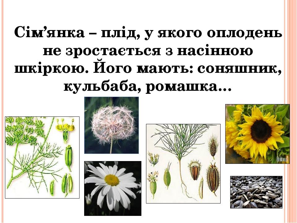 Сім'янка – плід, у якого оплодень не зростається з насінною шкіркою. Його мають: соняшник, кульбаба, ромашка…