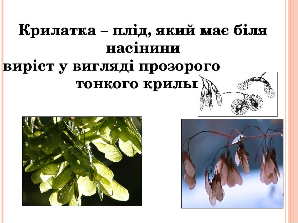 Крилатка – плід, який має біля насінини виріст у вигляді прозорого тонкого крильця